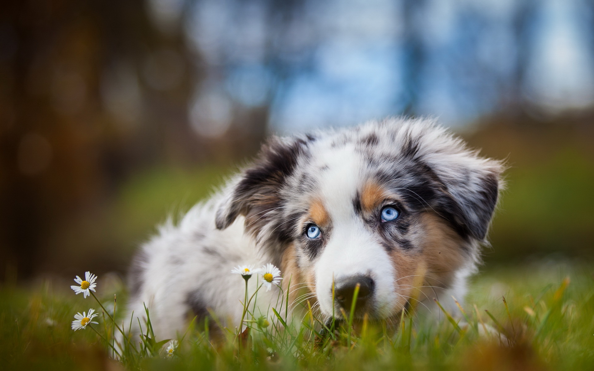 Blue Eyed Shepherd Dog